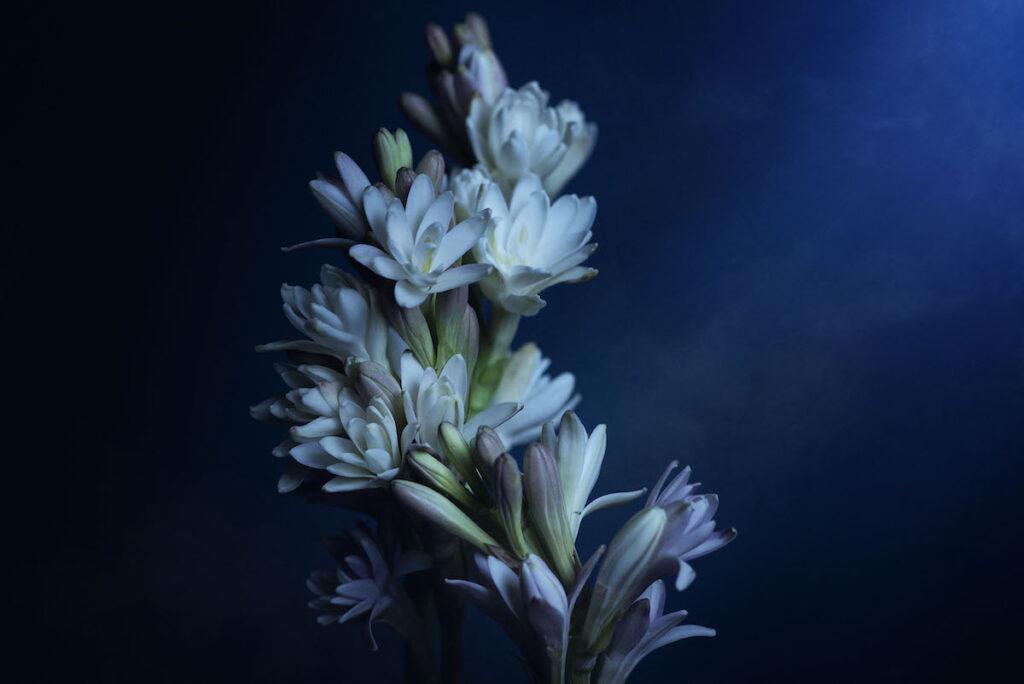 Tuberose flower at night