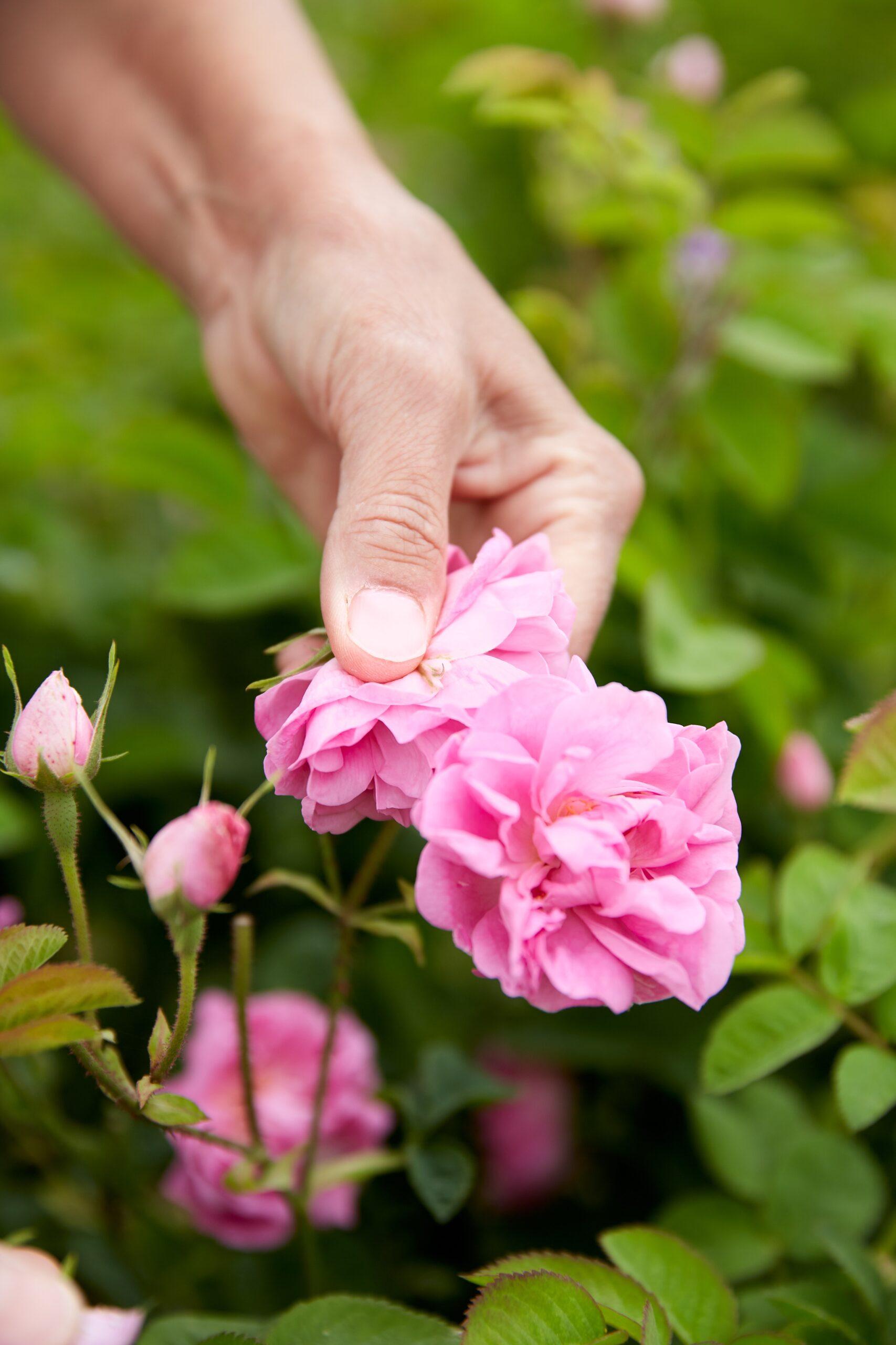 dior rose harvest